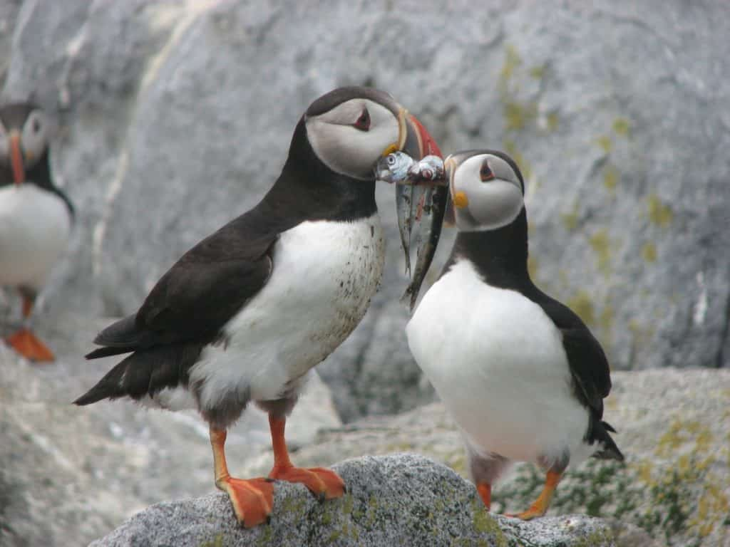 2 puffins with fish on a rock