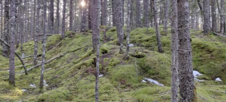 Evergreen trees in a forest, with a hilly, lush green moss forest floor, and a hint of sunshine
