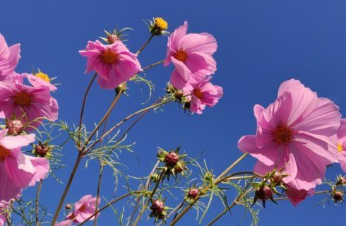 Close up view of bright pink flowers with blue sky in the background