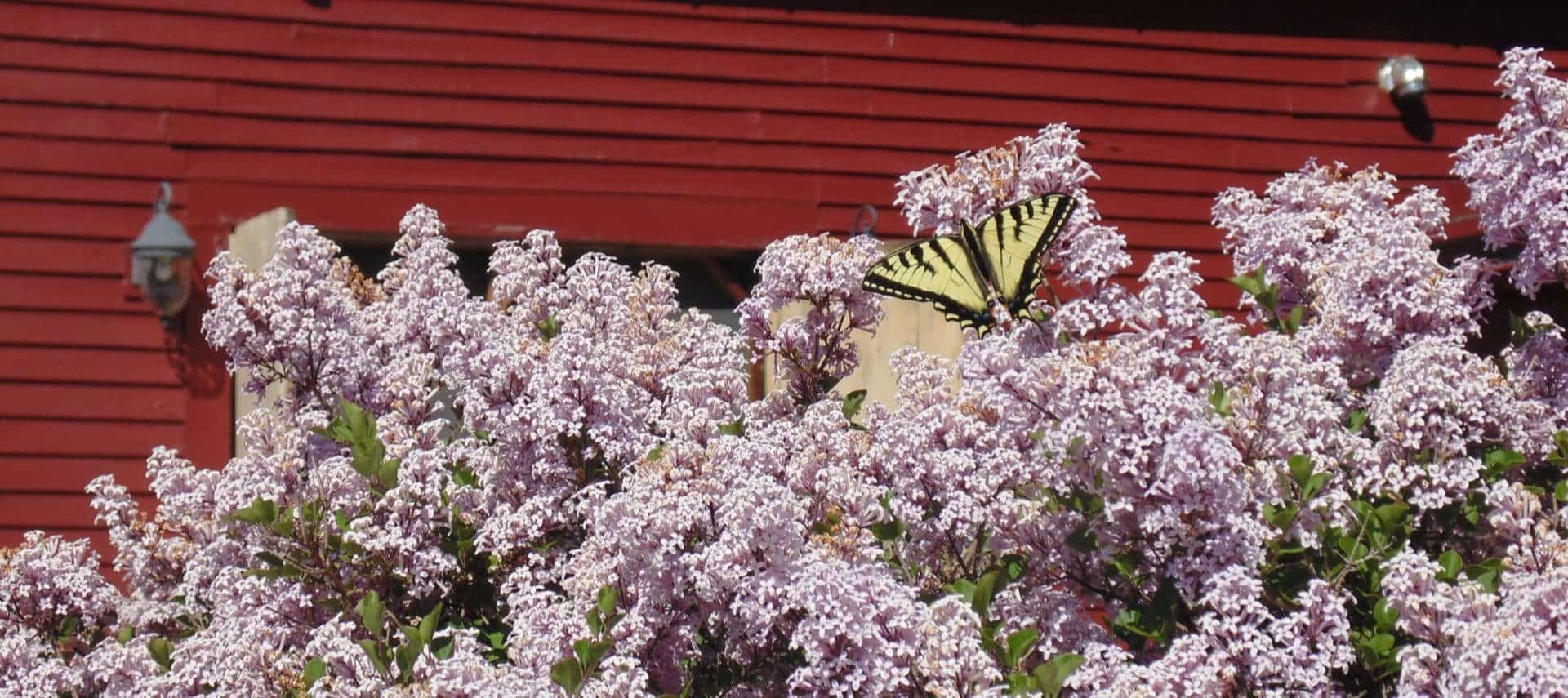 Close up view of black and yellow butterfly perched on top of lilac bush with light purple flowers