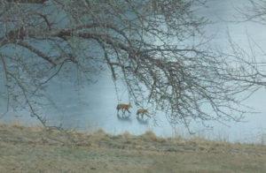 2 fox walking on frozen pond