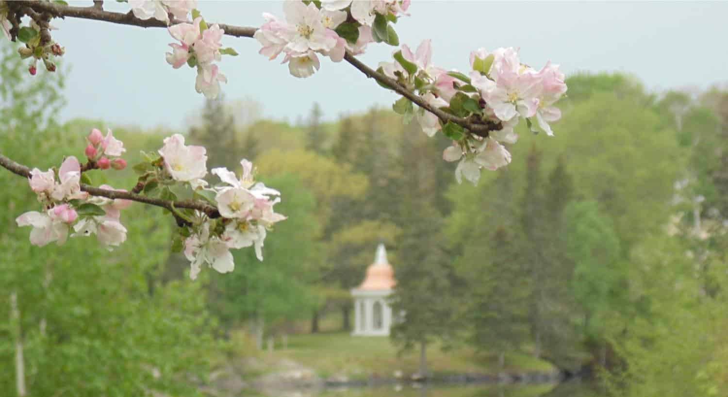 Close up view of white cherry blossom flowers with a park full of trees and a white gazebo in the background
